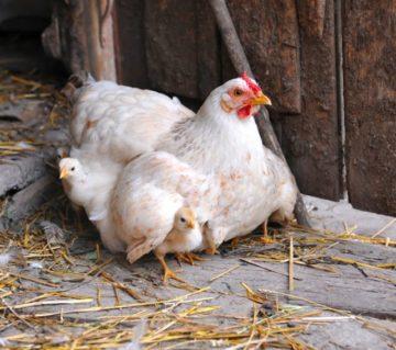выведение цыплят под наседкой
