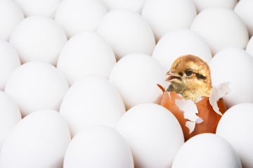 вылупление цыплят