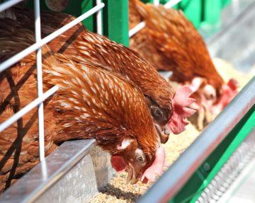 выращивание кур на убой