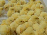 как различить цыплят по полу