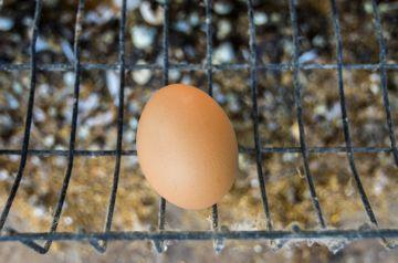 свежее яйцо