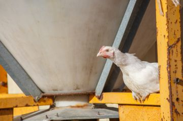 стресс у курицы