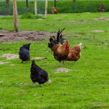 куриный двор