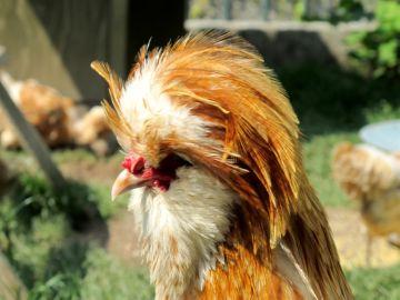 курица падуан