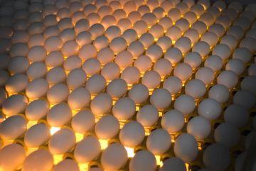подготовка яиц к овоскопированию