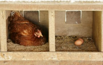 курица на гнезде