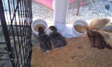бункерная кормушка для цыплят