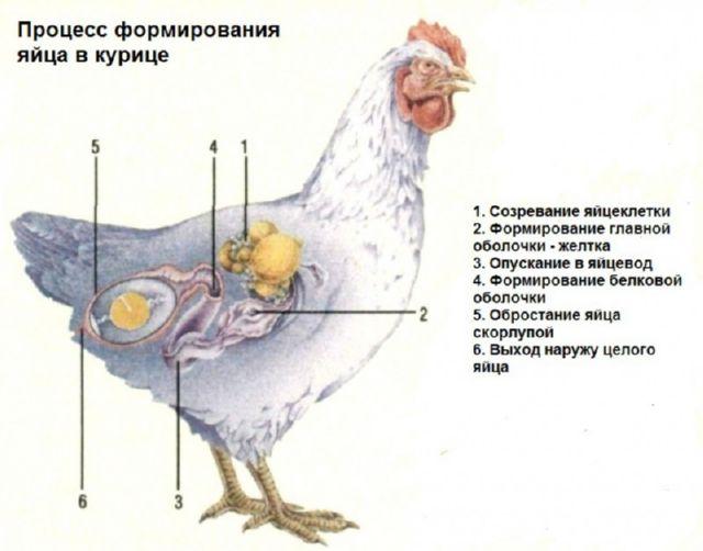 процесс формирования яйца в курице