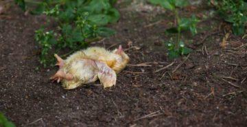 ларинготрахеит у цыплят лечение