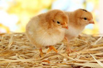 цыплята на подстилке