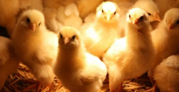 инфекция у цыплят