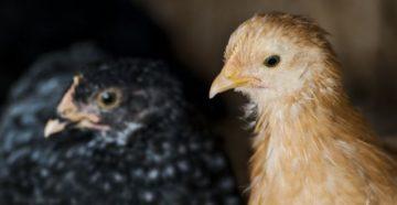 болезни глаз у цыплят и их лечение с фото