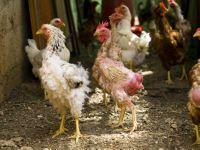 почему у кур выпадают перья