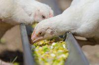мешанки для цыплят