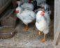 рахит у цыплят симптомы лечение