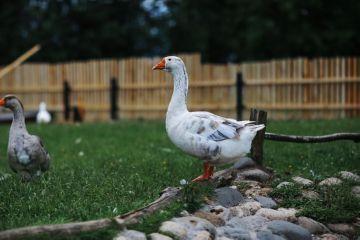 луговой корм для гусей