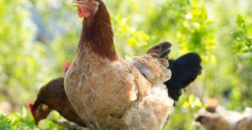 водянка у курицы лечение