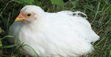 у курицы опух глаз
