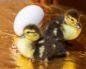 разведение гусей как бизнес выгодно или нет