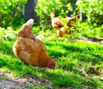 Куриные блохи, клещи, вши на человеке – опасно ли это?