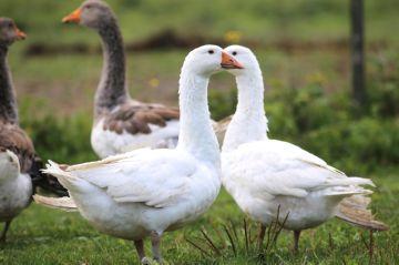 белые и серые гуси