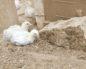 цыплята сели на ноги лечение