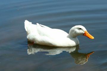 утка в водоеме