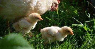 пуллороз цыплят лечение