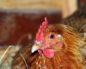 насморк у курицы как лечить