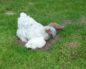 куриные блохи на человеке