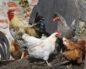 у курицы опухла голова