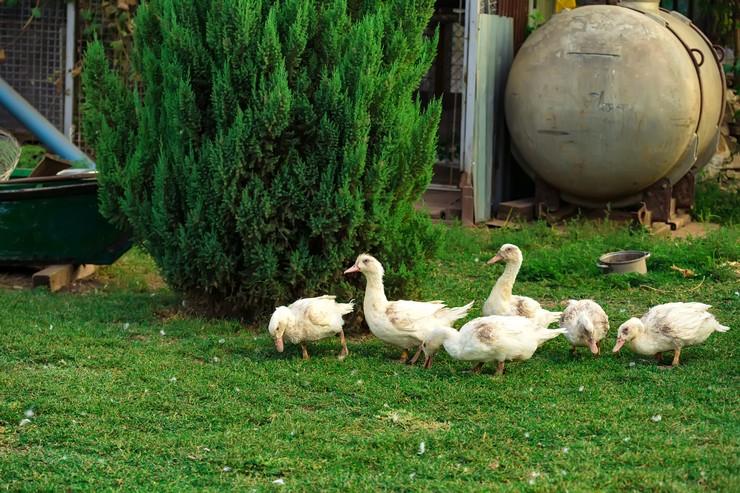 Утки породы мулард : советы по выращиванию в домашних условиях