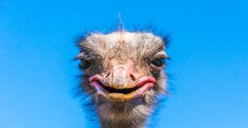 страус нанду