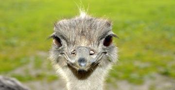 Чем и как кормить страусов