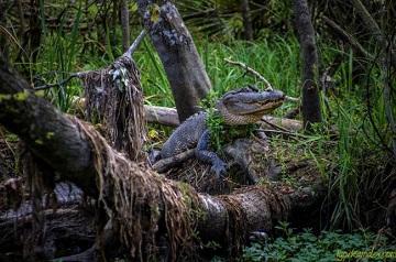 Крокодилы Манчак