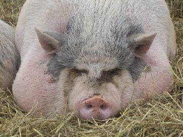 Свинья выкормленная на грануляте из отходов