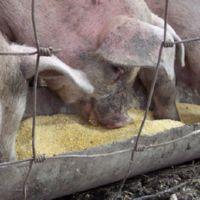 пищевые отходы на корм скоту