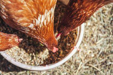 правила кормления кур