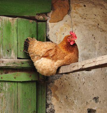 как приучить куриц к насесту