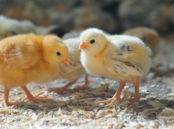 маленьие цыплята