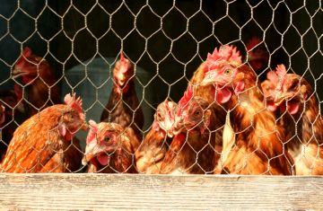 курицы в вольере
