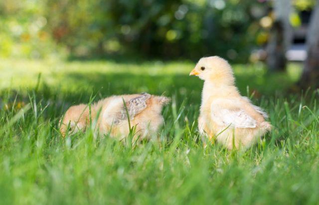 Породы цыплят цыплята яйценосных пород