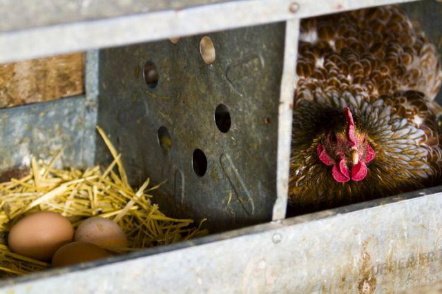 во сколько месяцев курица начинает нестись
