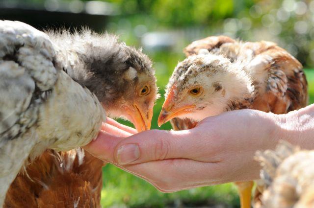 Кормление цыплят-несушек особеннсоти выбора режима и корма