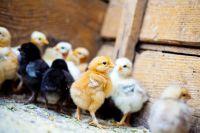 комбикорм для цыплят своими руками