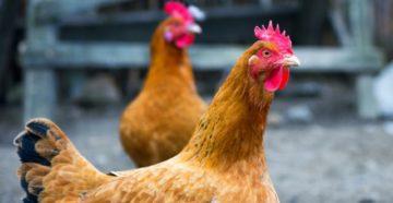 запор у курицы что делать