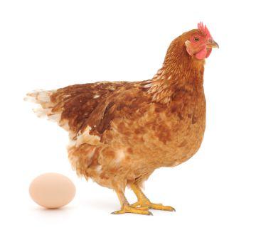 курица снесла яйцо