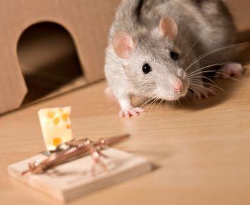 механические способы борьбы с крысами