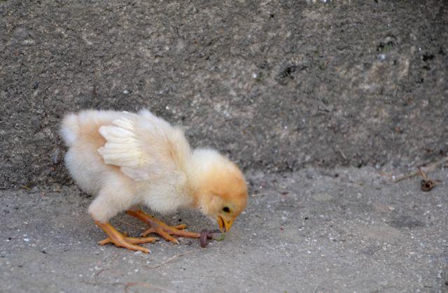 глисты у цыплят симптомы и лечение
