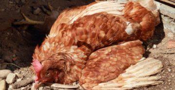 болезнь марека у цыплят симптомы